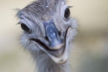 rhea or ostrich