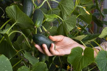 women hand picking cucumber in the garden