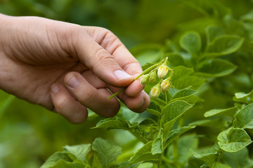 hand with culled flower of potato