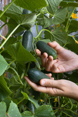 hand picking cucumber in the garden, closeup