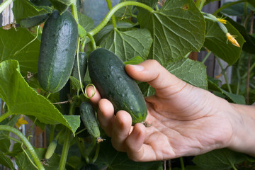 hand picking a cucumber, closeup