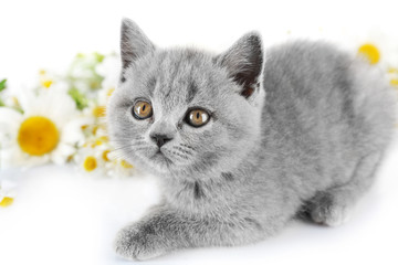 Cute gray kitten with chamomiles isolated on white
