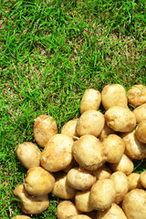 New potatoes over green grass background