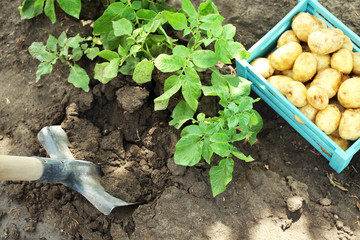 New potatoes in wooden crate and potato tuber over soil background