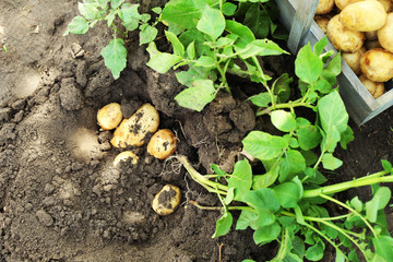 New potatoes in wooden crate near potato tuber in garden
