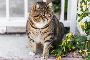 fat lazy cat