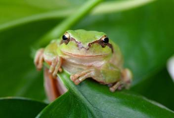 Green frog with bulging eyes golden