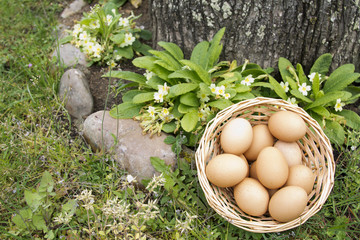 eggs in the field
