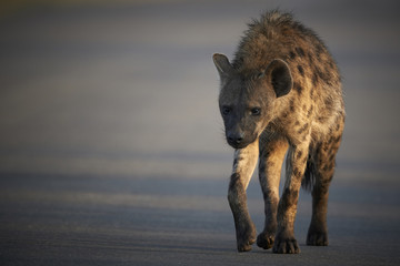 Spotted hyena crossing a road in the early morning light
