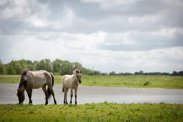 Konik wild horses. Free-ranging Konik horses in their open environment at Oostvaardersplassen, Holland.