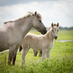 Konik wild horses. Free-ranging Konik horses in their open environment at Oostvaardersplassen, Holland.