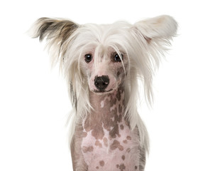Close-up of a Chinese Crested Dog