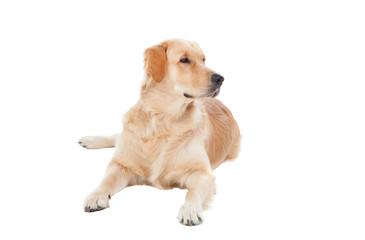 Beautiful Golden Retriever dog breed