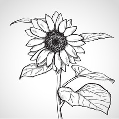 Sketch sunflower (Helianthus)