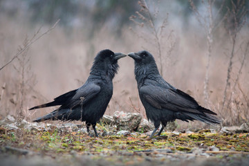 Two ravens in rainy day