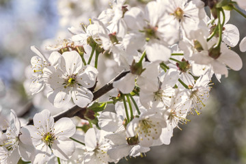 Flowers white spring cherry