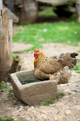 Free range farmyard chicken. A free range farmyard chicken in its native environment on a rural English farm.