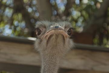 Ostrich look. Ostrich in Geelhout Garden in South Africa