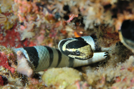 sea snake/ Sea snake lying in ambush (Banded sea krait), Panglao, Philippines