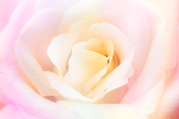 beautiful rose flower on blur background