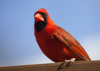 Male cardinal from below