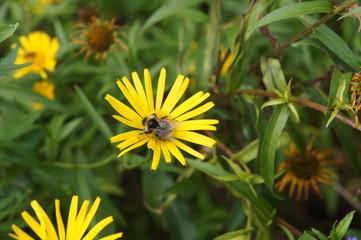 Blüte und Hummel 2
