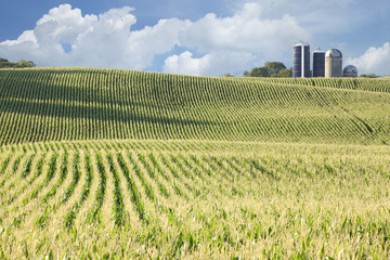 Cornfield and silos on sunny day with clouds