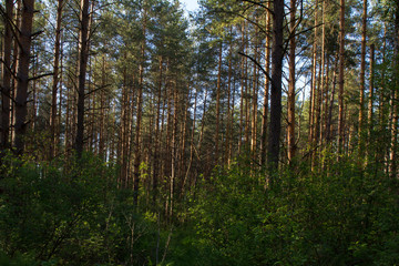 Природа России. Лес мачтовых сосен и подлесок.