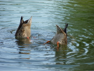 canards colverts en plongée