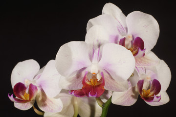 Orchidea, Orchid