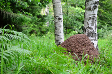 Big ant hill