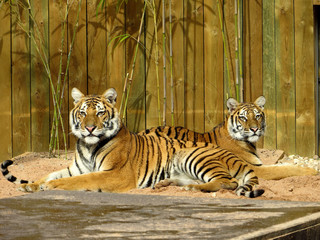 Tigres frère et soeur couchés