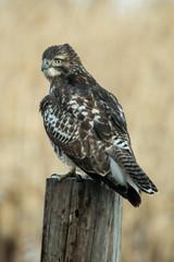 Resting Hawk