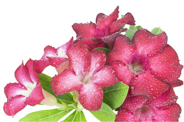 group of red azalea flowers