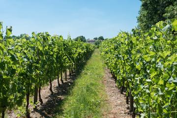 Foto op Canvas Wijngaard Vineyard for Bordeaux's red wine