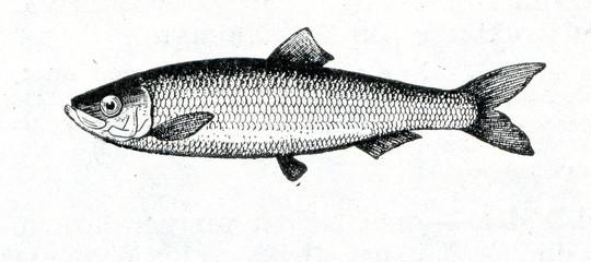 Baltic herring (Clupea harengus membras)