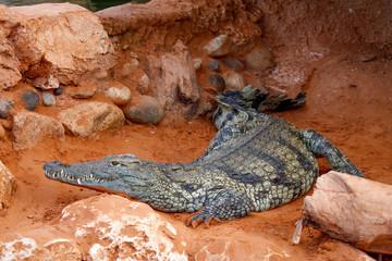 Crocodile sur terre rouge
