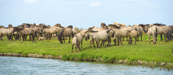 Herd of wild horses running along a river in summer
