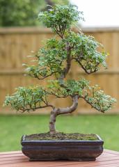 Bonsai - Pepper tree bonsai outdoors.
