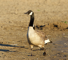 Beautiful close-up of the Canada goose on the beach