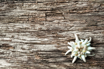 Edelweiss on wooden background