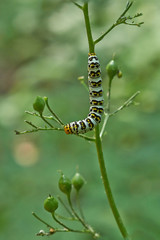 What would be a  butterfly caterpillar eats a lot.