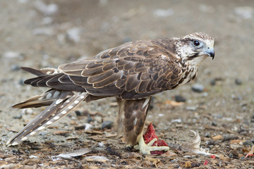 Saker falcon eating meat
