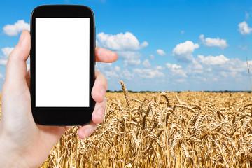 tourist photographs wheat field under blue sky