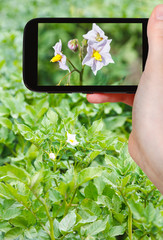 tourist photographs of potato flowers on field