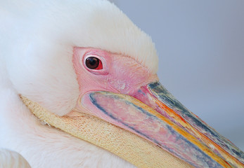 Georgia pelican mykonos island