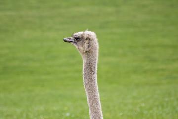 Primer plano de avestruz en pradera