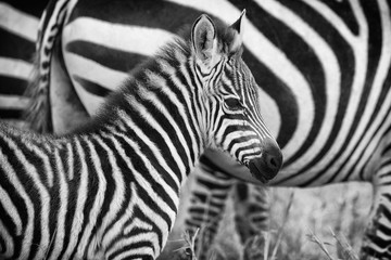 Very young zebra in mono