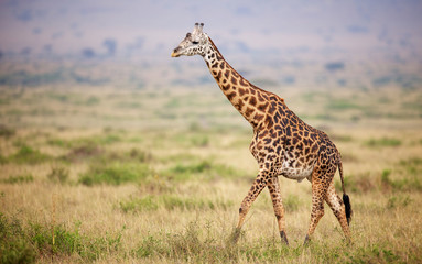 Printed roller blinds Giraffe Giraffe walking in Kenya