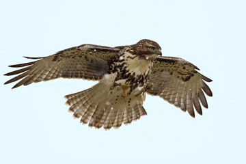 Red-tailed Hawk hovering over prey